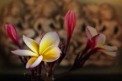 Sepiowy i antykwarski colour brzmienie kwiatu frangipani wiązka na vint Zdjęcie Stock