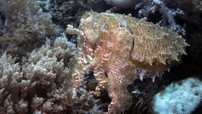Sepiowy latimanus lub Broadclub Cuttlefish Obraz Stock