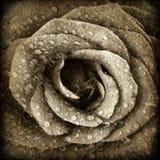 Sepiowy różany tło Zdjęcie Royalty Free