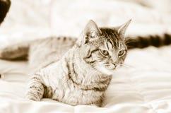 Sepiowy szary tabby kot na łóżku obrazy stock