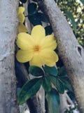 Sepium amarillo del pavonia de la flor con las ramas y las hojas foto de archivo