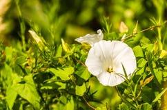 Sepium de Calystegia de fleur blanche Images stock