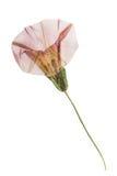 Sepium pressionado e secado do calystegia das flores e das folhas Isolado Imagem de Stock Royalty Free