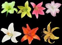 Sept d'isolement sur la collection noire de fleurs de fleur de lis Photo libre de droits