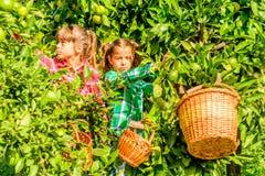 Sept filles an sélectionnant des clémentines de son jardin image libre de droits