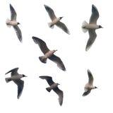 Sept mouettes volantes d'isolement Image libre de droits