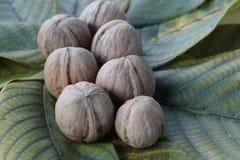 Sept noix sur les feuilles de cet arbre photos stock