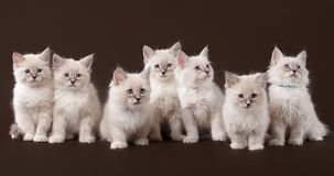 Sept petits chatons sibériens sur le brun foncé Photos stock