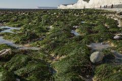 Sept soeurs, East Sussex, Angleterre - algue verte sur le rivage photos stock