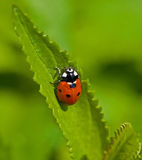 Sept-tache Ladybird Photographie stock libre de droits