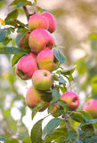 September apples Royalty Free Stock Photography