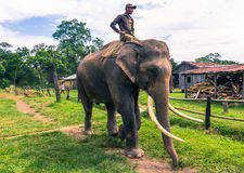 9. September 2014 - ausgebildete Elefanten in Nationalpark Chitwan, Lizenzfreie Stockfotografie