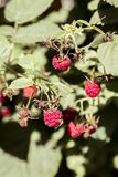 September branch of raspberry with big red ripe berries Stock Photos