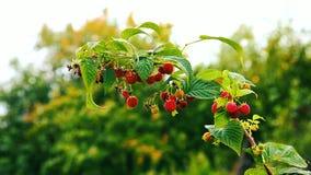 September branch of raspberry