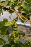 September-druiven Royalty-vrije Stock Afbeeldingen