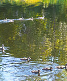 September. Ducks flock on reflective water Royalty Free Stock Images