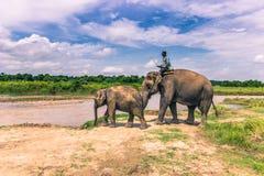 September 09, 2014 - elefanter i den Chitwan nationalparken, Nepal Arkivbild