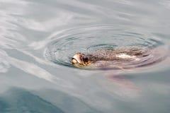 september för argostolihamnkefalonia sköldpaddor 2006 Arkivfoto