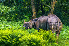 02 september, 2014 - Indische Rinoceros in het Nationale Park van Chitwan, Nepa Stock Foto