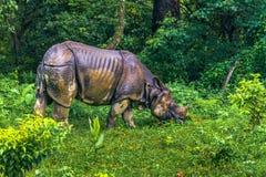 02 september, 2014 - Indische Rinoceros in het Nationale Park van Chitwan, Nepa Royalty-vrije Stock Afbeeldingen