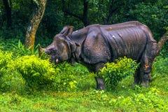 02 september, 2014 - Indische Rinoceros in het Nationale Park van Chitwan, Nepa Stock Afbeeldingen