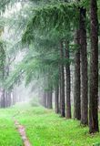 September mist in the fir forest early morning Stock Photo