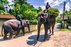 09 september, 2014 - Olifanten in de straten van Sauraha, Nepal Stock Afbeelding
