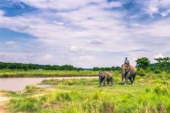 09 september, 2014 - Olifanten in het Nationale Park van Chitwan, Nepal Stock Fotografie