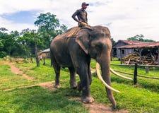 09 september, 2014 - Opgeleide olifanten in het Nationale Park van Chitwan, Royalty-vrije Stock Fotografie