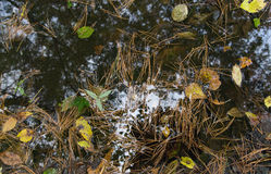 September. Pool with the needles floating in it, leaves and reflection of branches of trees Stock Photography