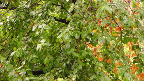 September rain  on my window. Beautiful  leafs of a tree during a autumn rainstorm with rain falling on them stock footage