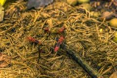 03 september, 2014 - Rood Katoenen Insect in het Nationale Park van Chitwan, Ne Stock Afbeelding