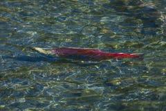 - 1. September 2016 schwimmen rosa/rote Lachse, Alaska Lizenzfreie Stockbilder