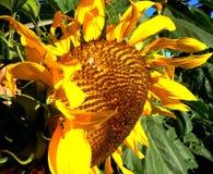 September-Sonnenblume Stockfotos