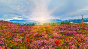 September sunrise country foothills with heather flowers. September sunrise country foothills panorama with heather flowers, wooden cross and sunshine (Lviv royalty free stock photos