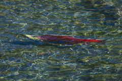 September 1, 2016 - Swimming Pink/red Salmon, Alaska Royalty Free Stock Images