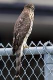 September 2017 Windsor, AUF Kanada-Fassbindern Hawk Resting auf Zaun Stockbilder