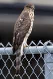 September 2017 Windsor, ON Canada Coopers Hawk Resting on Fence. Coopers Hawk resting on a fence after getting lost Stock Images