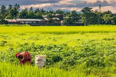 2 septembre 2014 - agriculteur dans Sauraha, Népal Images stock