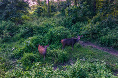 4 septembre 2014 - cerfs communs en parc national de Chitwan, Népal Photos libres de droits