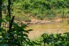 9 septembre 2014 - crocodile de Gavial en parc national de Chitwan, Photos libres de droits
