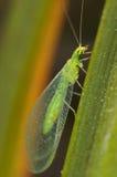 septempuncta crisopa chrysopa Стоковые Изображения