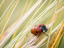 Septempunctata Coccinella ladybird 7-пятна Стоковые Изображения RF