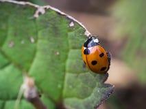 Septempunctata Coccinella ladybird 7-пятна Стоковые Фотографии RF