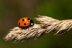 Septempunctata de Coccinella Photo stock