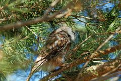 Septentrional Sierra-amole el búho en un árbol de hoja perenne imagenes de archivo