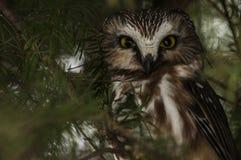 Septentrional Sierra-amole el cierre del búho para arriba fotografía de archivo libre de regalías