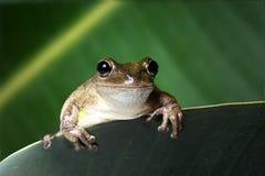 Septentrionalis Kubaner Treefrog Osteopilus auf gr?nem Blatt Portr?t lizenzfreie stockbilder