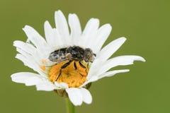 Sepulchralis Hoverfly милые Eristalinus садясь на насест на vulgare Leucanthemum цветка маргаритки вол-глаза или собаки Стоковые Изображения RF