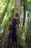 Sepulturas do bebê em um grande tronco de árvore em Indonésia Imagens de Stock